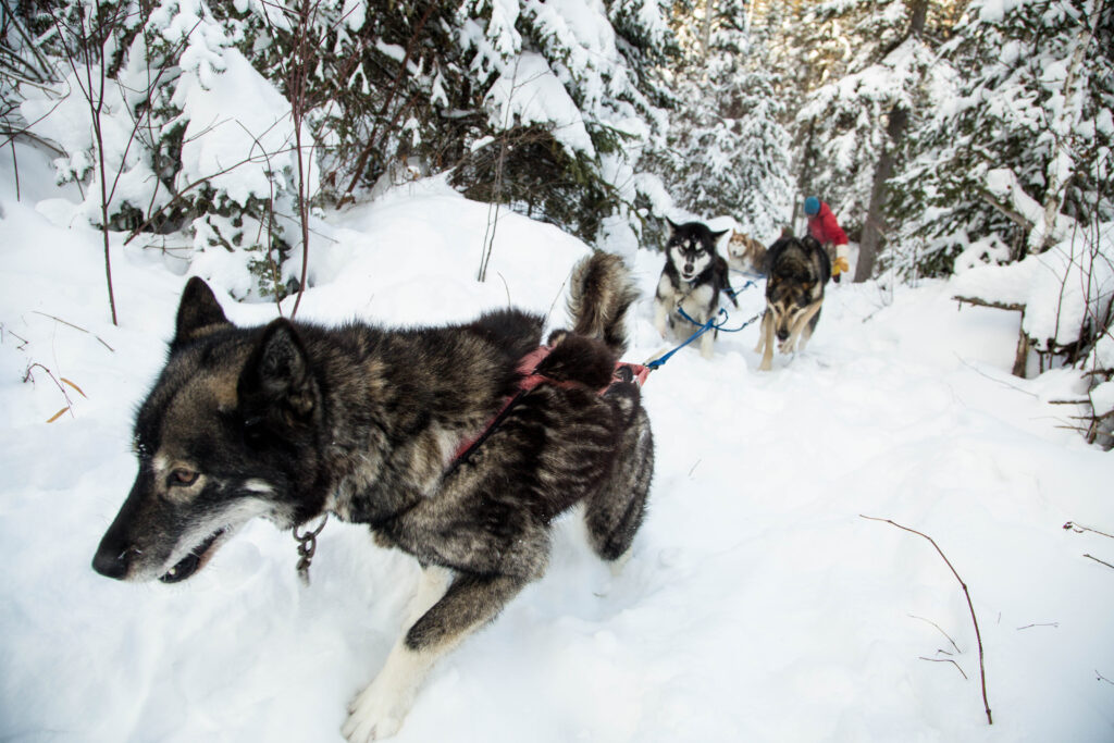 Outdoor Activity Dogsledding