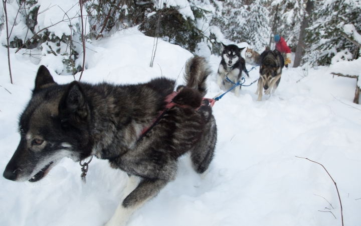dog sledding class in minnesota